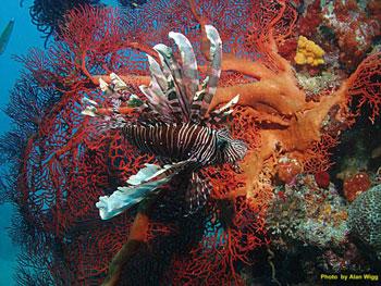 fiji-lionfish