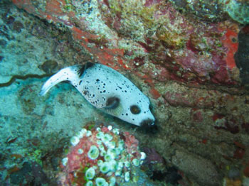 pufferfish-andy-moss-photo