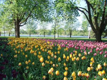 Colourful tulips in Commissioners Park beside Dow Lake