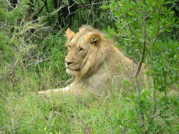 Take a break from soccer and head out on safari in search of the king of the jungle.