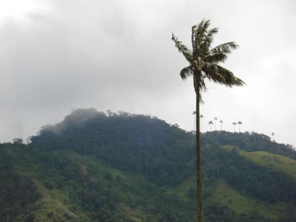 the Quindio wax palm tree (Ceroxylon quindiuense).