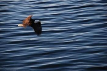 Bald Eagle on the hunt. hoto courtesy of sagmeister.ca