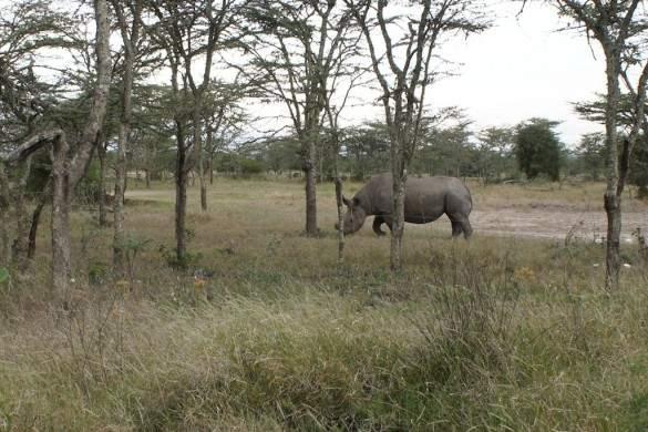Baraka, a protected black rhino.