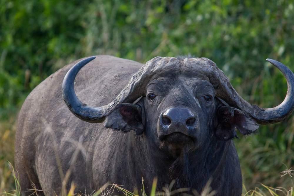 dangerous-buffalo