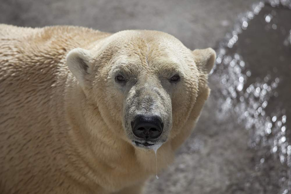 dangerous polar bear