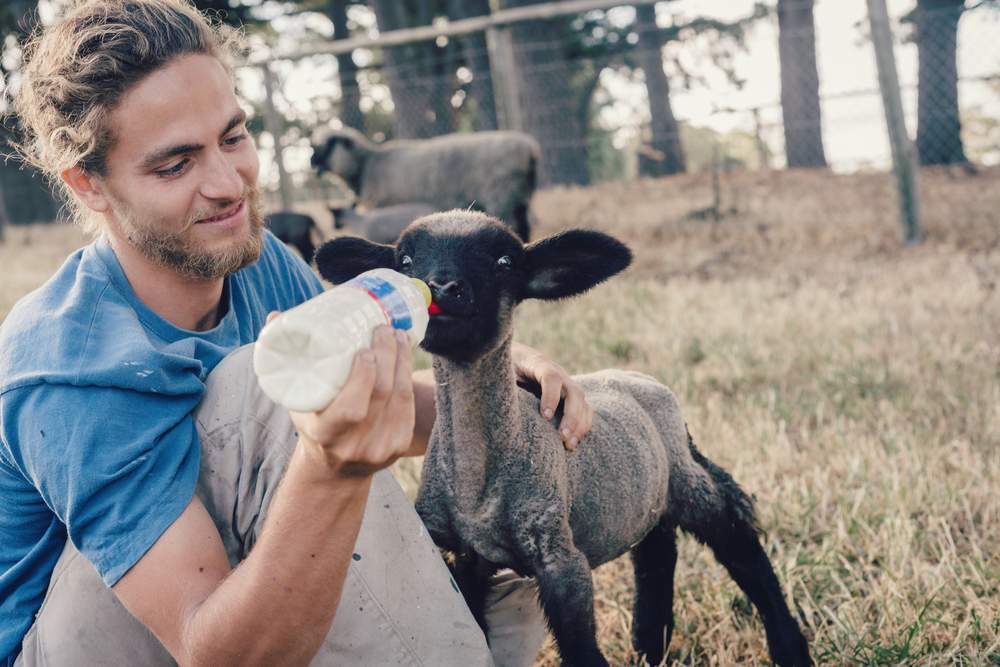 WOOF- lamb