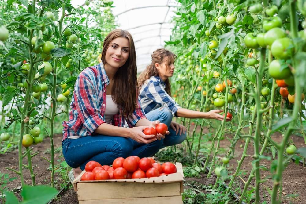 WWOOF tomatoes