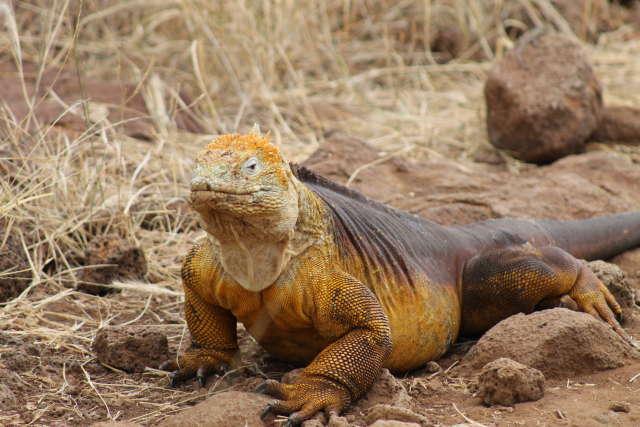 Golden Land Iguana - Galápagos