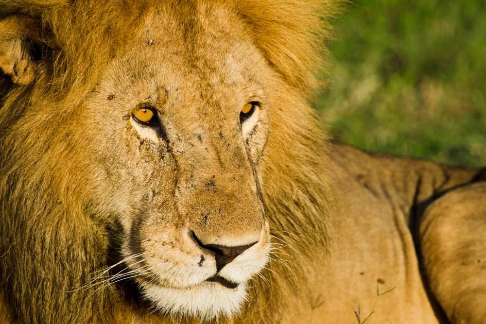 photo safari lion