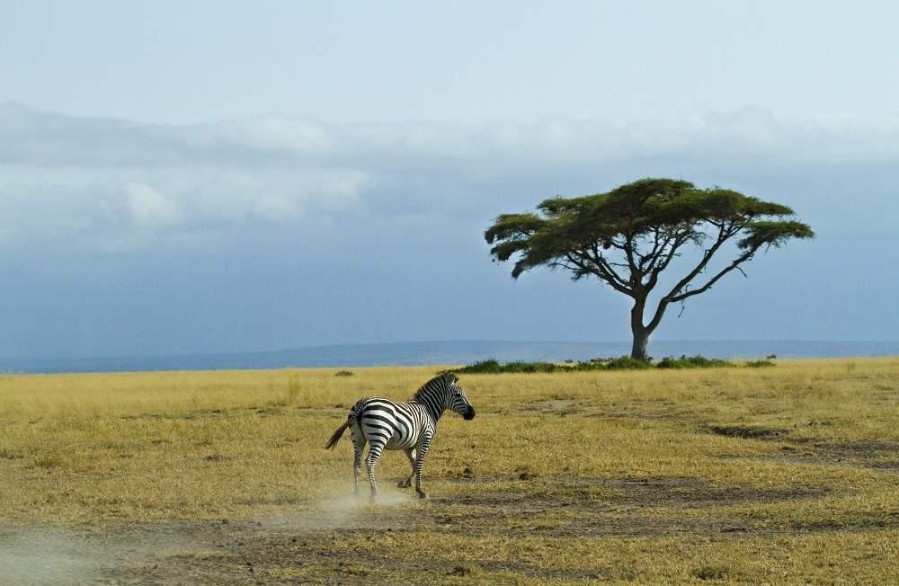 photo safari zebra