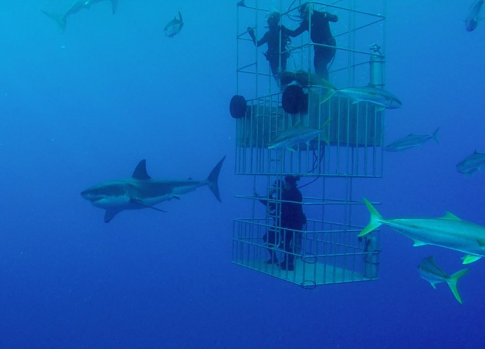 Getting to Know the Sharks in Guadalupe Island, Mexico