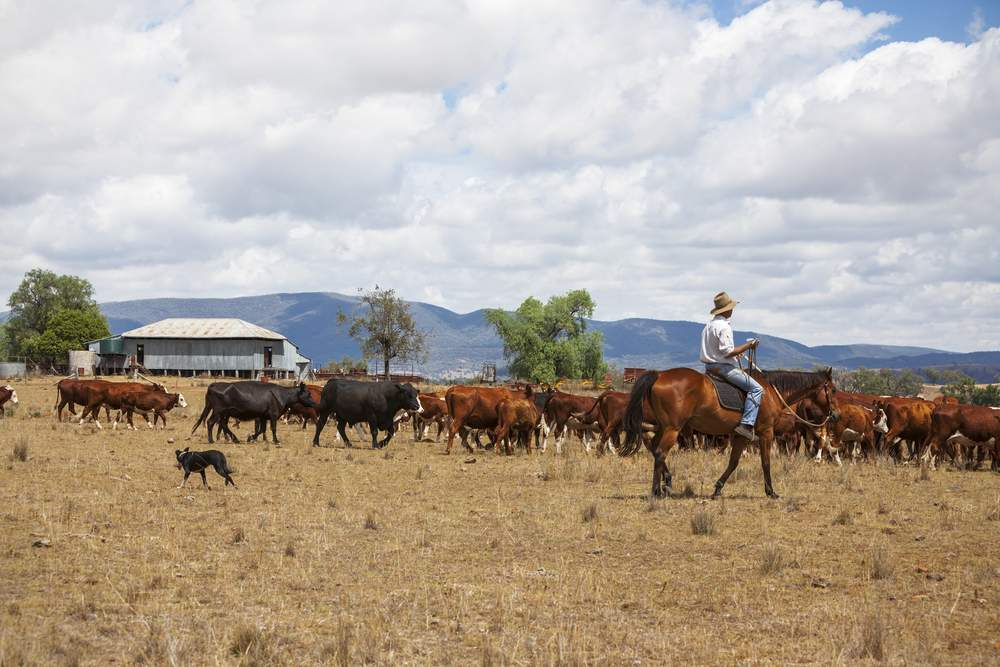 Ranch in Australia with Cattle