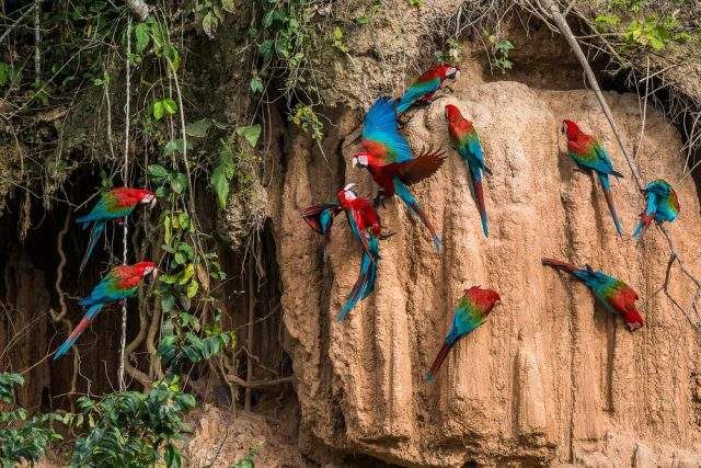 Parrots licking clay in the Amazon Rainforest, Peru